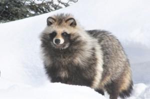動物のイメージ写真(タヌキ)