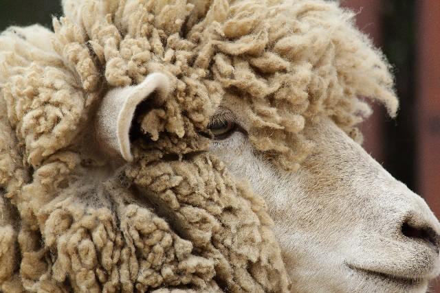 羊毛のイメージ