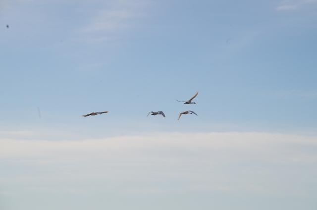 高いところを飛ぶ白鳥