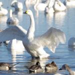 羽を広げた白鳥
